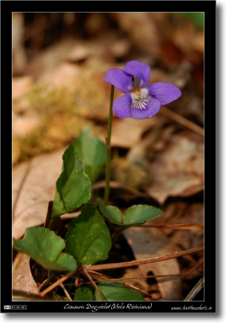 The Common Dog-violet (Viola Riviniana)