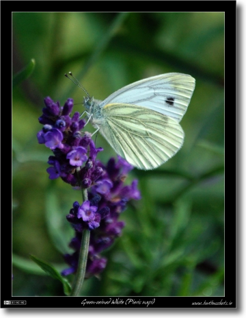 Green-Veined White on Lavender