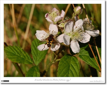 Wasp on Brambles