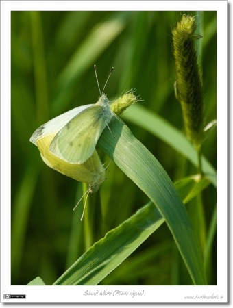 Small Whites (Pieris rapae)