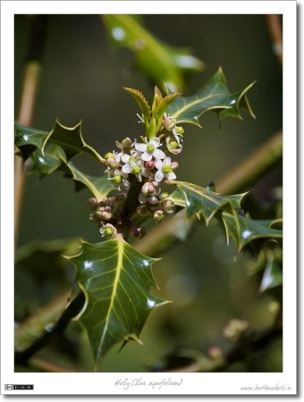 Holly in Bloom