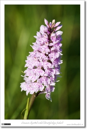 A Common Spotted-orchid