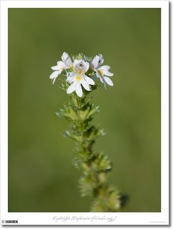 Eyebrights (Euphrasia officinalis agg.)