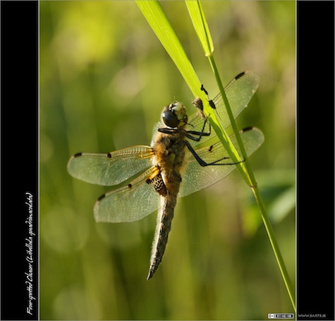 back-lit Four-spotted Chaser