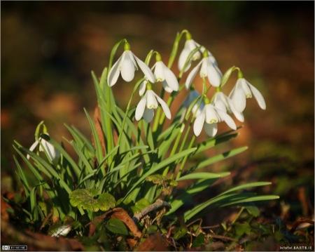 Snowdrops (Galantus nivalis)