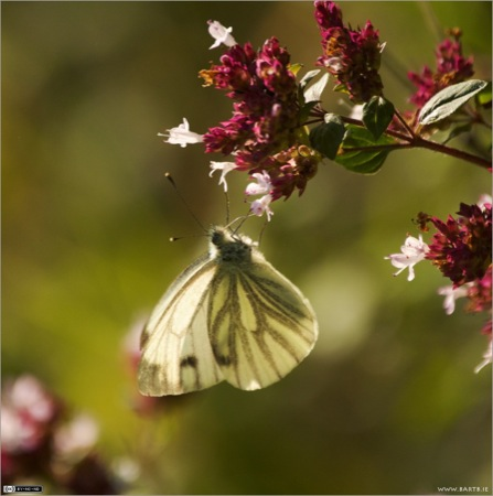 Back-lit Green-veined White